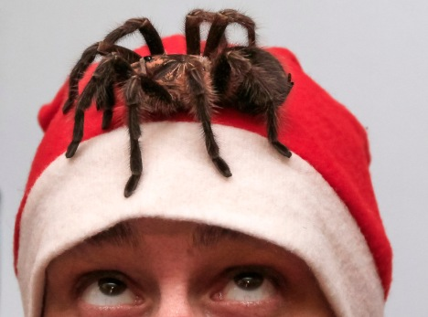 An amateur spider keeper dressed as Santa Claus watches a venomous Phormictopus antillensis spider on his head at his parents' apartment in the town of Minusinsk