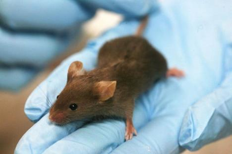 scientists reverse ageing in mice