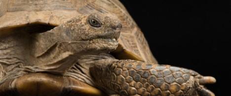 An Arizona desert tortoise, Gopherus agassizii